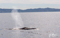 Fin Whale- Balaenoptera physalus