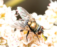 Copperbottle fly - Lucilia cuprina
