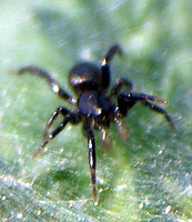 Ground spider 4 - Zelotes sp.