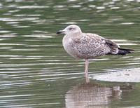Herring Gull - Larus argentatus (1st winter)