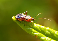 Plant bug - Closterocoris amoenus