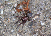 Ground spider 2 - Unidentifed sp.