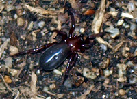 Ground spider 3 - Unidentified sp.
