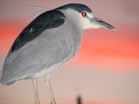 Black-crowned Night-Heron - Nycricorax nycticorax