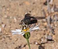 Tachinid fly - Unidentified sp.
