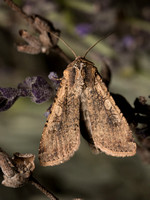Pearly Underwing Moth - Peridroma saucia
