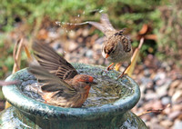 House Finch - Carpodacus mexicanus and White Crowned Sparrow - Zonotrichia leucophyrs