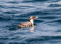 Ancient Murrelet - Synthliboramphus antiquus