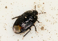 Burrowing bug - Unidentified sp.
