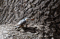 White-breasted Nuthatch - Sitta carolinensis