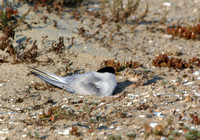 Least Tern - Sterna antillarum