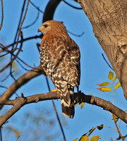Red-shouldered Hawk - Buteo elegans
