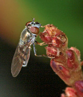 Flower fly 11 - Platycheirus obscurus