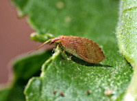 Brown lacewing - Family: Hemerobiidae