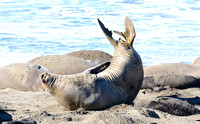 Elephant Seals at San Simeon Jan 2014