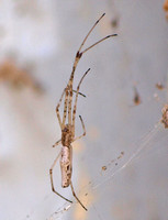 Long-jawed orbweaver - Tetragnatha versicolor