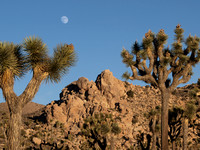 Flora and Fauna at Joshua Tree National Park