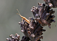 Scentless plant bug - Harmostes sp.