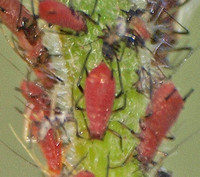 Red aphid - Uroleucon sp.??