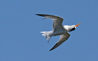 Elegant Tern - Sterna elegans (flying upside down)