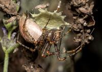 Green lynx spider - Peucetia viridans