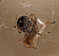 House spider - Parasteatoda tepidariorum