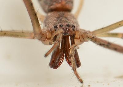 Long-jawed orb weaver - Tetragnatha sp. (versicolor?)