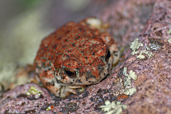 Red-spotted toad - Bufo punctatus