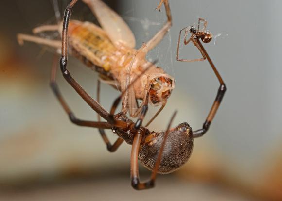 Brown widow - Latrodectus geometricus