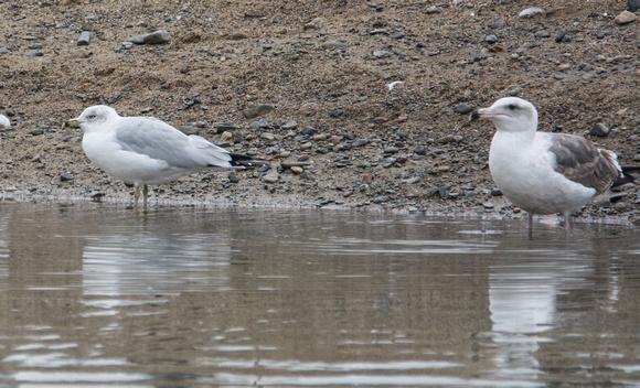 Ring-billed Gull (Winter Adult), Western Gull (2nd Winter)