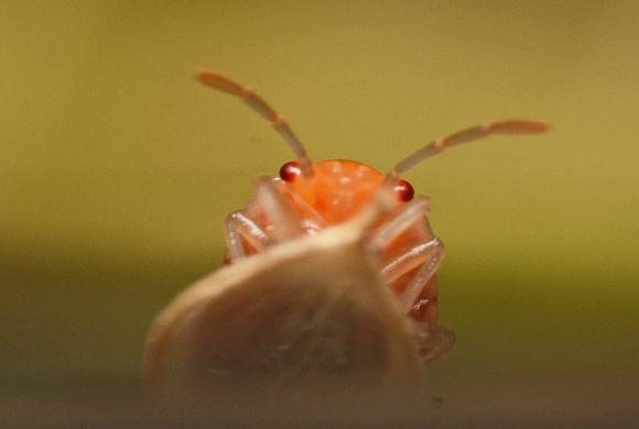Painted bug - Bagrada hilaris