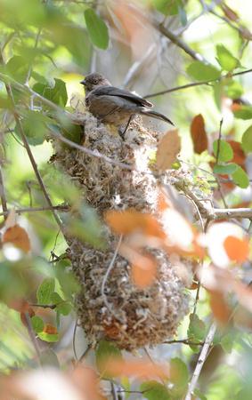 Bushtit - Psaltriparus minimus building a nest