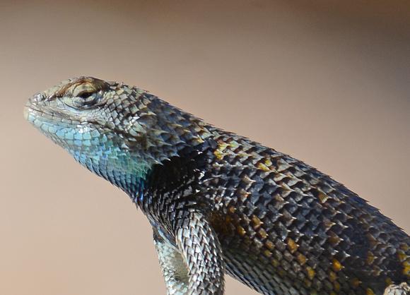 Yellow-backed Spiny Lizard - Sceloporus magister uniformis
