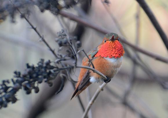Rufous Hummingbird - Selasphorus rufus