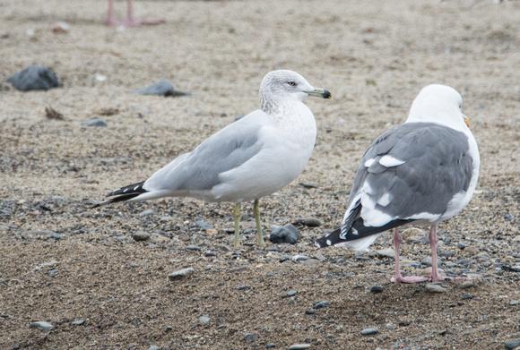 (l) Ring-billed Gull -  Larus delawarensis, (r) Western Gull - Larus occidentalis (Winter Adults)