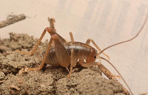 Camel cricket - Ceuthophilus sp.