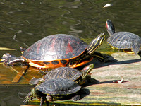 Florida red-bellied turtle -  Pseudemys nelsoni