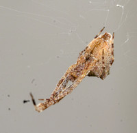Diverse feather-legged spider - Uloborus diversus