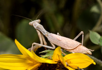 Bordered Mantis - Stagmomantis limbata