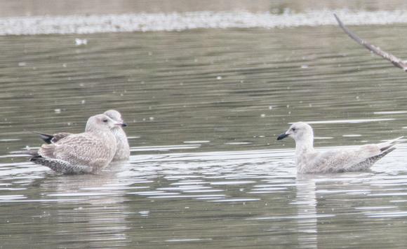 1st Winter California Gull - Larus californicus, Dana Point, Glaucous-winged Gull - Larus (r)