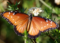 Queen - Danaus gilippus (female)
