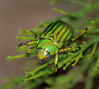 Glorious scarab - Chrysina gloriosa