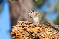 Merriam's Chipmunk - Tamias merriami