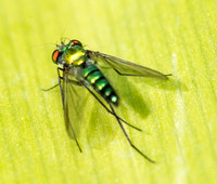 Long-legged fly - Unidentified sp