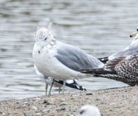 California Gull - Larus californicus (3rd Wiinter)