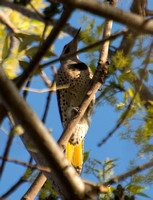Northern Flicker (yellow shafted) - Colaptes auratus