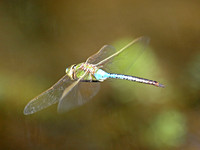 Common green darner - Anax junius