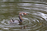 Pied-billed Grebe - Podilymbus podiceps (young)