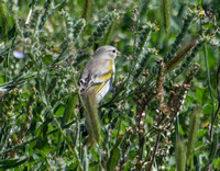 Lawrence's Goldfinch- Spinus lawrencei