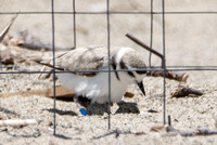 Snowy Plover - Charadrius nivosus (cage protecting the nest from predators)